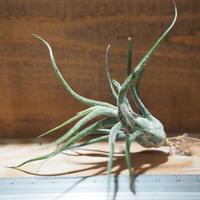 チランジア / プルイノーサ (T.pruinosa) *A01/Mar29