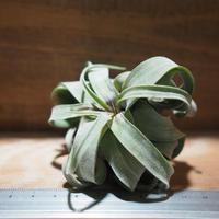 チランジア / ストレプトフィラ S (T.streptophylla) *A01/Aug30-01