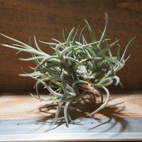 チランジア / バンデンシス (T.bandensis) *A01/Sep01