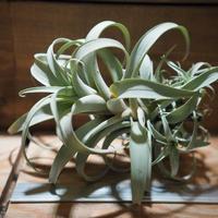 チランジア / ロゼオスカパ Lサイズ (T.roseoscapa) *A01/Sep01