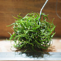 チランジア / ブルボーサ ミニブラジル CL (T.bulbosa 'Mini Brazil') *A01/Jan10