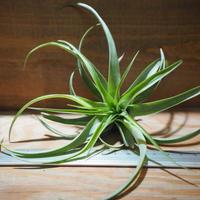 チランジア / ブラキカウロス グリーン M (T.brachycaulos 'Green') *A01/Jun05
