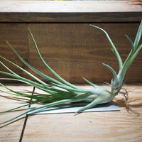 チランジア / ブルボーサ × プエブレンシス (T.bulbosa × T.pueblensis) *A01/Apr10