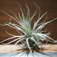 チランジア / テクトルム ワイルド フォーム (T.tectorum wild form) *A01/Feb17