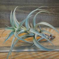 チランジア / ロゼオスカパ S (T.roseoscapa) *A02/Dec11