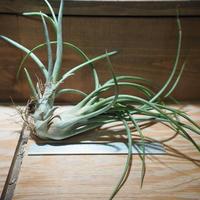 チランジア / ブルボーサ × プエブレンシス 子株付き (T.bulbosa × T.pueblensis) *A01/Apr15