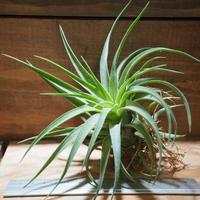 チランジア / ハリシー × アキロスタキス (T.harrisii × T.achyrostachys) *A01/Jun27