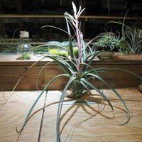 チランジア / ストレプトフィラ × ノバキー (T.streptophyll × T.novakii) *A01/Jun13
