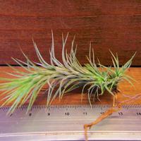 チランジア / フンキアナ Sサイズ (T.funkiana)