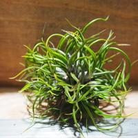 チランジア / ブルボーサ ミニブラジル CL (T.bulbosa 'Mini Brazil') *A01/Apr15