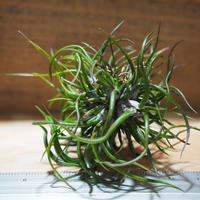 チランジア / ブルボーサ ミニブラジル CL (T.bulbosa 'Mini Brazil') *A01/Jul25