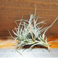 チランジア / クロカータ トリスティス (T.crocata var. tristis) *A01/Jul05
