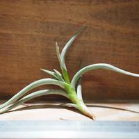 チランジア / ミオスラ (T.myosura)  *A01/Jan17