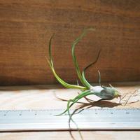 チランジア / ブルボーサ ミニブラジル (T.bulbosa 'Mini Brazil') *A01/Jan10