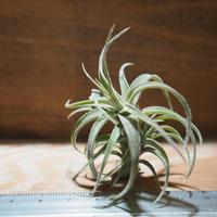 チランジア / ラティフォリア (T.latifolia) *A01/Nov17
