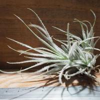 チランジア / テクトルム ワイルド フォーム (T.tectorum wild form) *A01/Apr25