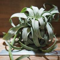 チランジア / ストレプトフィラ XLサイズ (T.streptophylla) *A01/Feb20-02