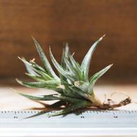 チランジア / フネブリス (T.funebris) *A01/Aug22