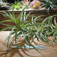 チランジア / ラティフォリア カウレセント (T.latifolia  var.  caulescent) *A01/Feb17