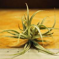 チランジア / スークレイ (T.sucrei) *A02/Se21-01