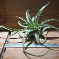 チランジア / ストレプトフィラ L (T.streptophylla) *A01/Feb23-02