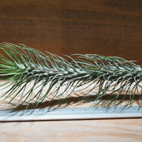 チランジア / フンキアナ レクルヴィフォリア (T.funkiana var. recurvifolia) ★タイ農場 *A01/Aug24