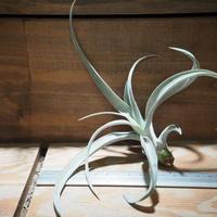 チランジア / チアペンシス ギガンテスコ (T.chiapensis 'Gigantesco') *A01/Nov30