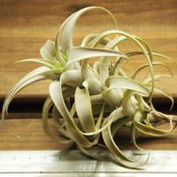 チランジア / ロゼオスカパ Sサイズ (T.roseoscapa)