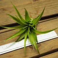 チランジア / ブラキカウロス グリーン (T.brachycaulos 'Green')