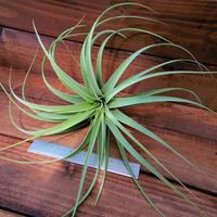 チランジア / キセログラフィカ × コンコロール (T.xerographica × T.concolor)