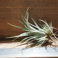 チランジア / ウトリクラータ プリングレイ S (T. utriculata ssp. pringlei) *A01/Feb28