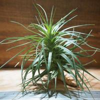 チランジア / ストリクタ グレイミスト (T.stricta 'Gray Mist') *A01/Apr18