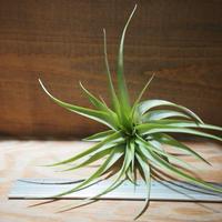 チランジア / ブラキカウロス グリーン M (T.brachycaulos 'Green') *A01/Aug03