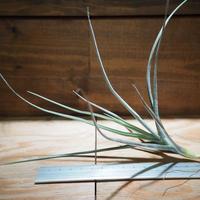 チランジア / カリギノーサ × クロカータ (T.caliginosa × T.crocata) *A01/Jan14