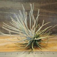 チランジア / プルモーサ (T.plumosa) *A02/Nov04-01