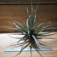 チランジア / ヴェルニコーサ パープルジャイアント (T.vernicosa 'Purple Giant') *A01/Jun13