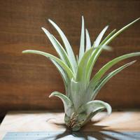 チランジア / チアペンシス × ミトラエンシス (T.chiapensis × T.mitlaensis) *A01/Nov09