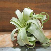 チランジア / ストレプトフィラ M (T.streptophylla) *A01/Sep22-02
