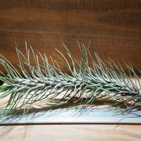 チランジア / フンキアナ レクルヴィフォリア (T.funkiana var. recurvifolia) ★タイ農場 *A01/Aug01