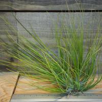 チランジア / セタセア (T.setacea) *A01/Dec23