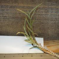 チランジア / カピラリス ※R-Type (T.capillaris) *A01/Dec18