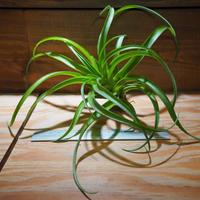 チランジア / ブラキカウロス ジャイアントグリーン (T.brachycaulos 'Giant Green') *A01/Jun13