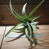 チランジア / フレクスオーサ グランドケイマン (T.flexuosa 'Grand Cayman') *A01/Apr4