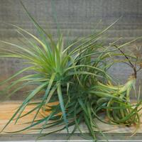 チランジア / ストリクタ グレイミスト (T.stricta 'Gray Mist') *A01/Dec23