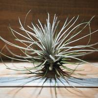 チランジア / プルモーサ (T.plumosa) *A01/Nov23-01