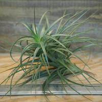 チランジア / ストリクタ グレイミスト (T.stricta 'Gray Mist') *A02/Oct22