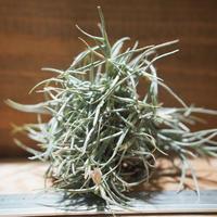 チランジア / クロカータ トリスティス (T.crocata var. tristis) *A01/Nov23
