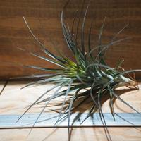 チランジア / テヌイフォリア アメシスト L (T.tenuifolia var. amethyst) *A02/Mar19
