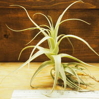 チランジア / ストラミネア トールホワイト (T.straminea 'Tall White') *A02/Se01