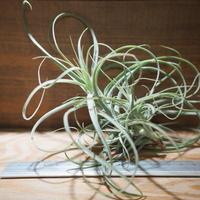 チランジア / ストラミネア ブッシュ L (T.straminea 'Bush') *A01/Jul05